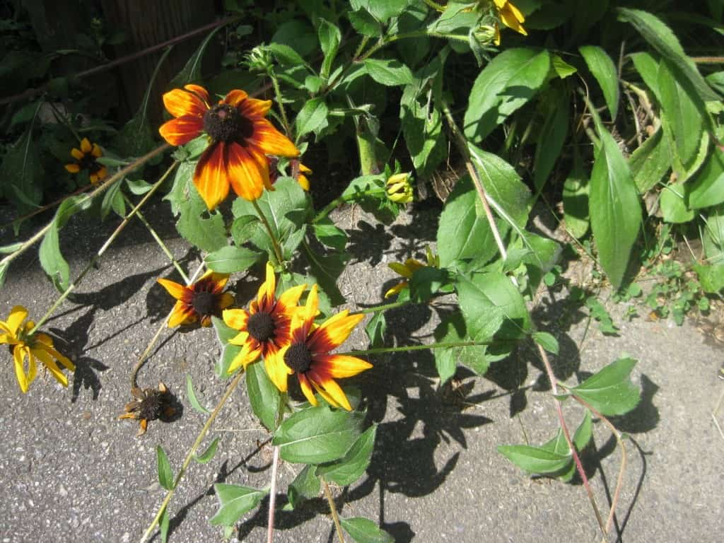 Black-eyed Susans 9-1-14