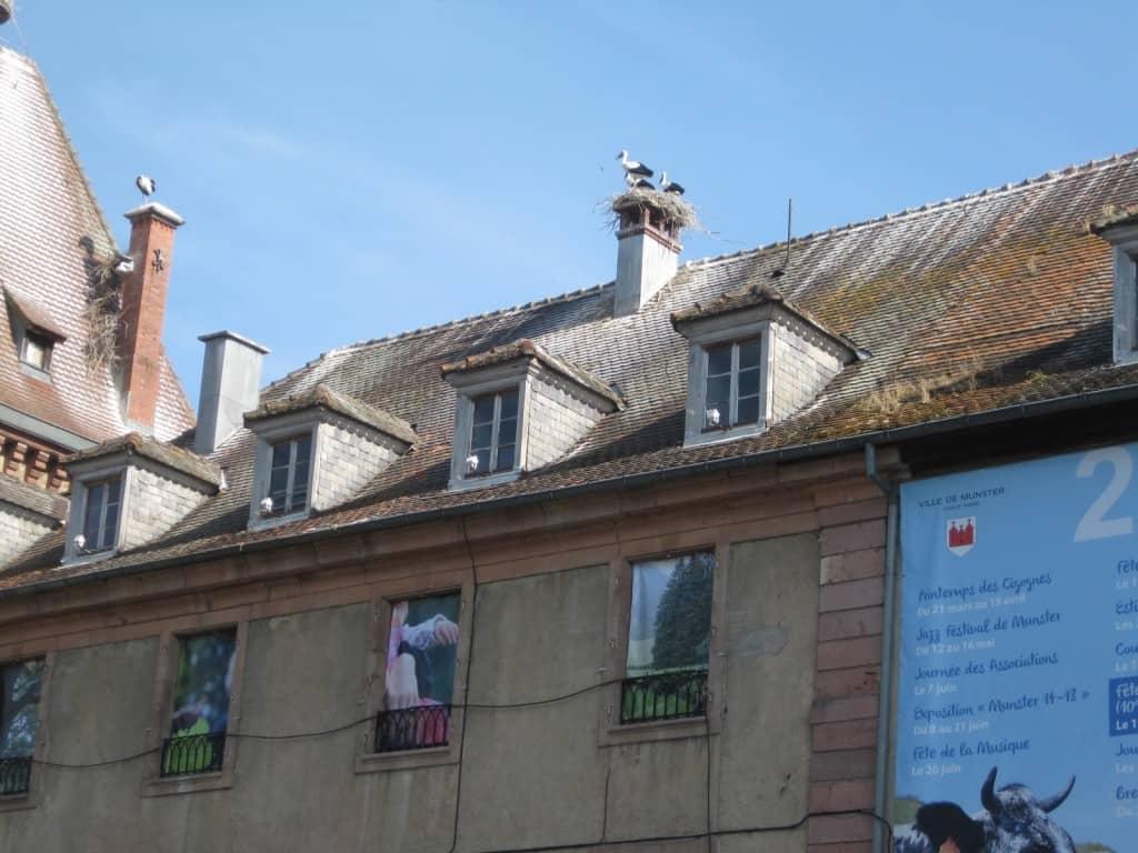 Storks in Munster, France