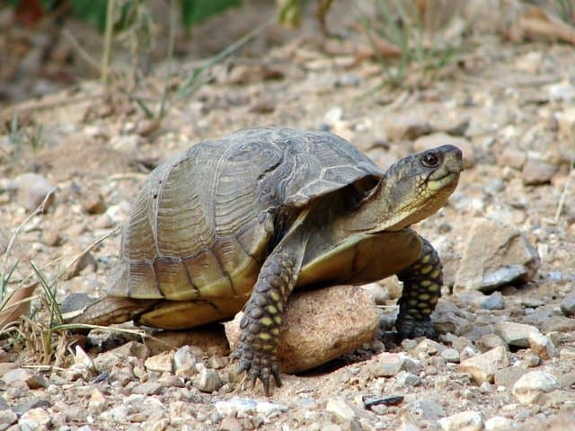 box-turtle-1409099-640x480